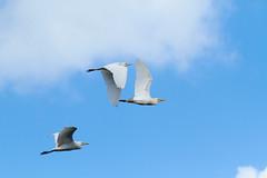 Cattle Egrets (ronmcmanus1) Tags: antigua bird nature outdoors wildlife jollyharbour stmarysparish antiguabarbuda