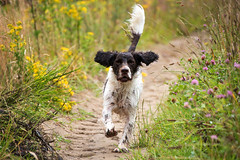 28/52 ZigZag 2017 (Flemming Andersen) Tags: 52weeksfordogs animal cocker outdoor spaniel zigzag dog hund nature pet running