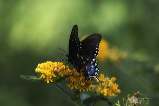 Spicebush Swallowtail?? {Explored 257}