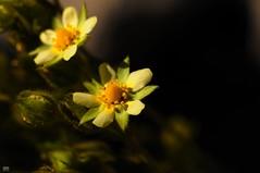 DSC_0286 (cintia scola) Tags: cíntiascola nikond300 summer2017 wildflowers