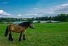 Kaltblüter (waltsphoto) Tags: pferd kaltblüter landschaft sommer see wolkenlandschaft