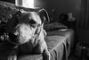 Project Shot 24 (Liam J. Turner - British Photography) Tags: mess with doggo you get robbo dove daily photo projec project 2017 summer monochrome pets dogs meow mc low i fancy chinese