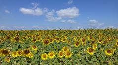 météo : beaucoup de soleil et quelques petits nuages (b.four) Tags: girasole sunflower tournersol cloud nuvola nuage valensole alpesdehauteprovence