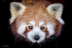Red Panda Portrait (Linda Martin Photography) Tags: redpanda hampshire ailurusfulgens animal canon5dmarklll uk isleofwight alittlebeauty coth ngc coth5 sunrays5 npc