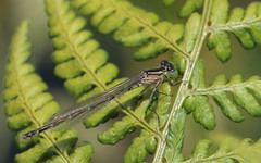Small red-eyed damselfly (kl_ben) Tags: smallredeyeddamselfly small redeyed damselfly bargerveen kleine roodoogjuffer erythromma viridulum kleineroodoogjuffer