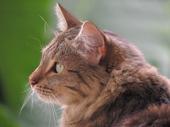 Flor (Ani Carrington) Tags: flor tabby tabbycat eyes whiskers light sweet love portrait cat pet longhairedlonghaired