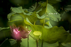 D67_0095 (brook1979) Tags: 植物園 台北市 荷花 花 蓮 蓮花 葉 荷葉 lotus flower