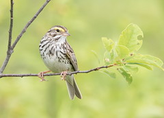 Savannah Sparrow. (mandokid1) Tags: canon canon7dmk11 ef400mmdoii birds sparrows