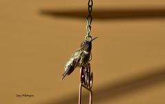 Hummingbird_7281 (Porch Dog) Tags: 2017 garywhittington kentucky nikond750 nikkor200500mm hummingbird birdfeeder backyard nature wildlife feathers