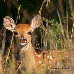 Hiding in the tall grass (Lindell Dillon) Tags: fawn whitetail deer wildlife nature oklahoma lindelldillon wildoklahoma