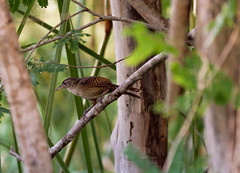 Zapata Wren _ Ferminia cerverai (Kremlken) Tags: wrens endemics cuban birds birding marsh wetlands neotropical
