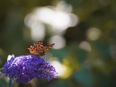 Daydreamer (ursulamller900) Tags: pentacon28100 butterfly schmetterling polygoniacalbum cfalter mygarden bokeh summer sommer