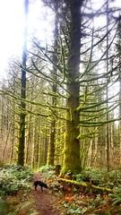 Mossy Cedar in Columbia River Gorge (briantravis1) Tags: columbiarivergorge dog cedar moss borealforest