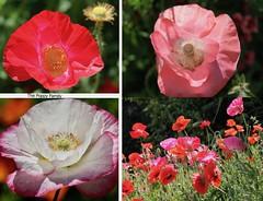 C'est l' Été - It's Summer (Pierre♪ à ♪VanCouver) Tags: coquelicots coquelicot poppy vancouver summer poppies