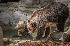 Two for the Pool (helenehoffman) Tags: omnivore brownbear ursusarctoshorribilis wildlife grizzlybear nature pool ursus sandiegozoo conservationstatusleastconcern ursusarctos carnivore mammal animal