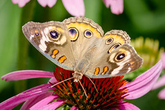 Buckeye butterfly (tresed47) Tags: 2017 201707jul 20170718chestercountymacro buckeye butterflies canon7d chestercounty content folder insects july macro pennsylvania peterscamera petersphotos places season springtonmanor summer takenby technical us