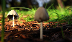 Mushrooms (Macro) (Jocarlo) Tags: macro macros macrophotographers macrofotografia macrofotografía macrofotografie macrography macrophotography macrofotogría makro bosque parques parque pilze mushroom mushrooms mushie mushies art afotando adilmehmood arttate blinkagain crazygeniuses crazygenius editing flickrclickx flickraward flickrstruereflection1 flickrphotowalk fuji fujifilm fujistas flora genius hongos hongo photowalk photowalkmelilla sharingart photograpfy photografy jocarlo fujixt1fujifilm flickr luz light clickofart melilla ngc nationalgeographic nubes natura nature natur pwmelilla soulocreativity1 xt1 xt1fuji mycology micologia