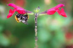 la TêTe en bas (ju.labs) Tags: canon canon70d 100mmf28macro macro macroinnature map macroshot paris bordsdemarne iledefrance nature insecte outdoor couleurs colors rose pink abeille bourdon explorer
