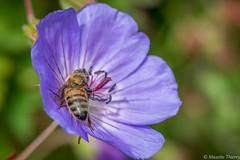 La Gourmande (musette thierry) Tags: capture instecte musette thierry d600 macro fleur bleu guêpe reflex fleuraison