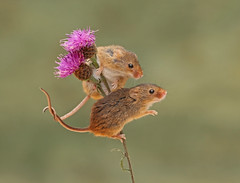 Harvest Mice (Chiv3) Tags: