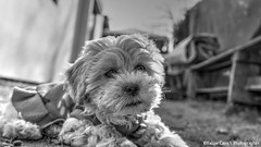 Simplemente Perla... La cuarta integrante del clan #Regalona #DogModel #InstaFotografia #Fotografia #photography #Photooftheday #DogLover #Familia #Maltes #Peluche (Pipe Caro) Tags: instagramapp squareformat uploaded:by=instagram mascota dog mejoramigo familia