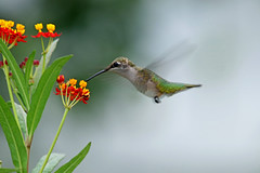IMG_0295_edited-1 (tofer431) Tags: hummingbird butterflyweed