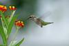 IMG_0295_edited-1 (tofer431) Tags: hummingbird butterflyweed