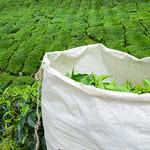 Tea Estates Cameron Highlands thumbnail