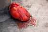 Tomato Heart (Jeremy Brooks) Tags: california food missiondistrict photowalk photowalking sanfrancisco sanfranciscocounty themission tomato usa wereonamission smashed ca unitedstates