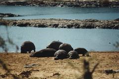 Nilpferde