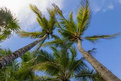 Palms (Jerry Bowley) Tags: rivieramaya xelha ecopark palms trees allinclusive