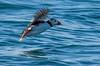 Puffins (Santa Cruiser) Tags: puffins papageientaucher bassrock scotland