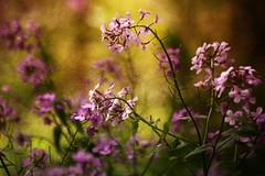 When I Grow Up (SereSima) Tags: phlox flower flowers stem bloom blooms texture colors