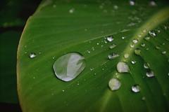 Drops (Tanja-Milfoil) Tags: galerie lotusbanane green grün tanja regentropfen regen drop drops