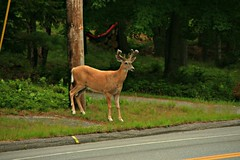 Crossing the Road (stephanie.dong) Tags: deer antlers green woods road forest outdoors nature beauty pretty animal grass lovely cloudy wild wildlife outside wow canon photography