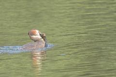 Great crested grebe 1 (peely03) Tags: weedandfish summer wildlife daisynook crimelake greatcrestedgrebe catchingfish