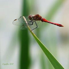 Bloedrode Heidelibel - Sympetrum sanguineum - ruddy darter (Cajaflez) Tags: bloedrodeheidelibel sympetrumsanguineum ruddydarter libelle dragonfly korenbout insect insekt