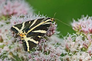 Jersey Tiger Moth (Euplagia quadripunctaria).
