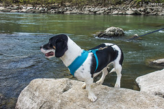 Puppy Dog (who loves the water & outdoors) (J.L. Ramsaur Photography) Tags: jlrphotography nikond7200 nikon d7200 photography photo rockislandtn middletennessee warrencounty tennessee 2017 engineerswithcameras cumberlandplateau photographyforgod thesouth southernphotography screamofthephotographer ibeauty jlramsaurphotography photograph pic rockisland tennesseephotographer rockislandtennessee puppydog puppy dog beagle lovesthewater lovestheoutdoors nature outdoors god'sartwork nature'spaintbrush animal canine family familymember hope shesourpuppy ruralsouth rural ruralamerica ruraltennessee ruralview rockislandstatepark caneyforkriver water river stream waterdog outdoordog
