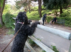 """""""It's the Little Things, like seeing Dale with Stan and Ollie after 2 weeks!""""  by Benni Girl (Bennilover) Tags: littlethings benni bennigirl labradoodle dale stan ollie walking playing bouncing howling fun love cookies treats friends happy dog dogs labradors friend"""