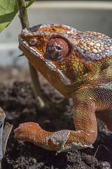 chameleon-007 (shottwokill) Tags: chameleon lizard sigma 105 macro nikon d800 sunning shedding eye rough orange colored reptile arboreal