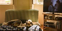 Columbo again!! (RCB4J) Tags: ayrshire rcb4j ronniebarron scotland sonydt1870f3556 sonyilca77m2 dobermanterrier dogs irvinevalley photography play playing siameselurcher trailhound trailie columbo detective drama crime murder