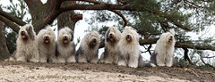 doggies day out (dewollewei) Tags: oldenglishsheepdog old english sheepdog sheepdogs wickedwisdoms oes bobtail dewollewei sophieandsarah sophieensarah dogs day out pose fun funny fluffy adorable seven honden