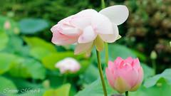 Fleurs de Lotus (Corinne Ménardi) Tags: lotus giroussens tarn nelumbonaceae tracheobionta fleur aquatique magnoliidae httpwwwjardinsdesmartelscomfr