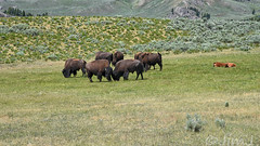 Head to Head (Jim Johnston (OKC)) Tags: lamarvalley buffalo americanbison yellowstonepark wyoming beartoothscenicbyway