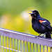 Red Wing Blackbird Calling Out in LLincoln Park, Chicago