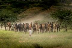 PushkarCamelFair_212 (SaurabhChatterjee) Tags: camel cattlefair desert desertsafari festivalsofindia festivalsofrajasthan pushkar pushkarcattlefairimages pushkarimages pushkarmela pushkarrajasthan saurabhchatterjee siaphototours siaphotographyin
