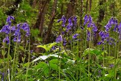 Hyacinthoides non-scripta, la jacinthe des bois. (chug14) Tags: fleur flower plantae plante asparagales asparagaceae bluebell jacinthedesbois jacinthesauvage scillepenchée endymionnutans endymionnonscriptus hyacinthusnonscriptus hyacinthoidesnonscripta