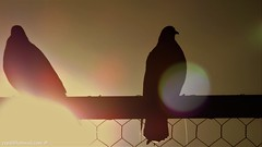 Pigeons in the backlight (cepsl) Tags: backlighting sunset pigeon lights