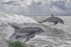 Bottlenose Dolphins (toryjk) Tags: bowride wake porpoising porpoise leap jumpingdolphin breach wild nature northcaptiva captiva sanibel captivaisland sanibelisland atlanticocean ocean bottlenose cetacean dolphin dolphins